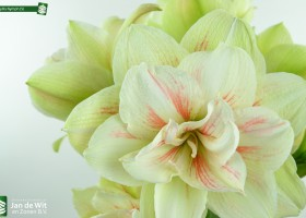 Photo studio shoot of Amaryllis