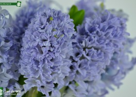 Photo studio shoot of Hyacinthus