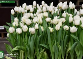 Tulipa White Magic ® (2)