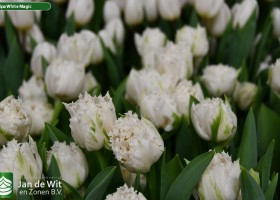 Tulipa White Magic ® (3)
