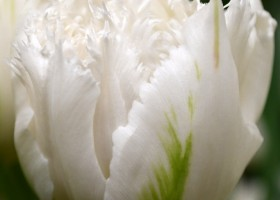 Tulipa White Magic ® (4)
