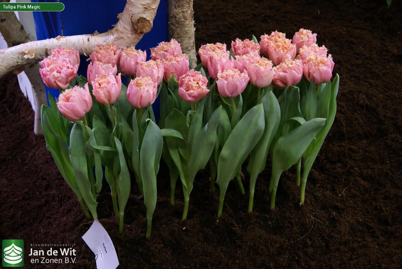 Цветы в клубнях фото