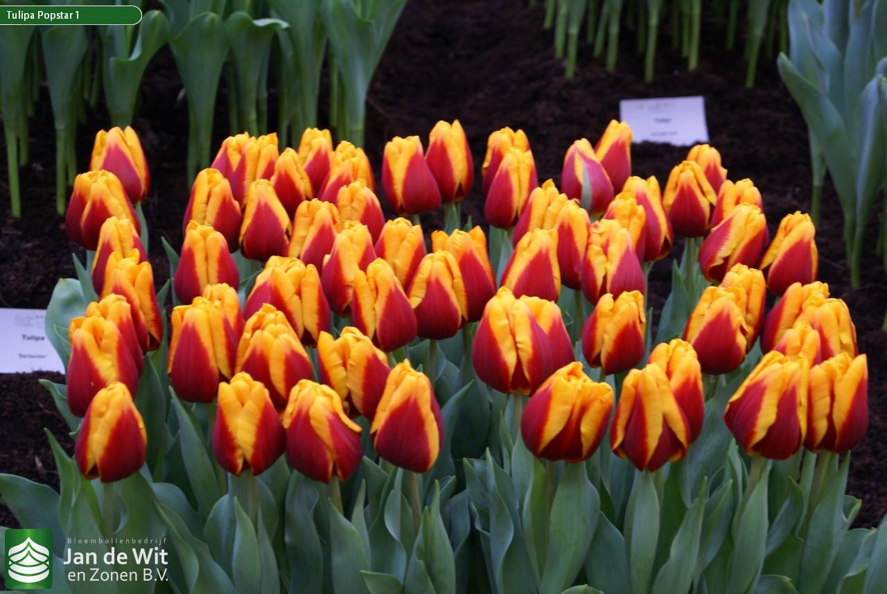 Тюльпан фото и описание цветка