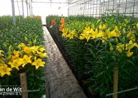 Lily test greenhouse 2016