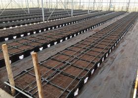 Samples planted in lily test greenhouse