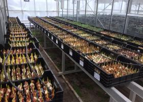 Tulips for Tulip Trade Event in greenhouse
