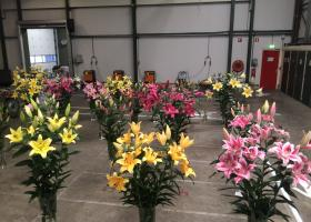 Lilies from test greenhouse