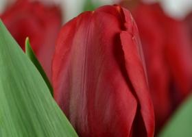 Tulip Red Label for Valentine's Day