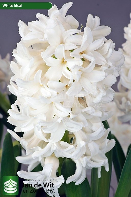 Hyacinthus White Ideal ®