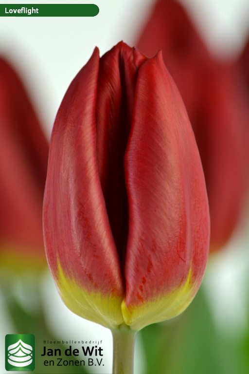 Tulipa Loveflight ®