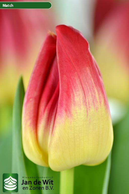 Match Tulip Jan Wit Zonen
