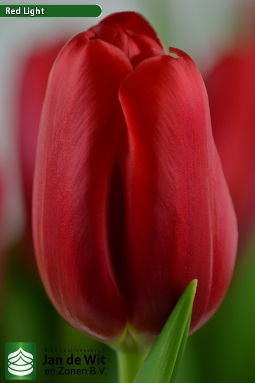 Tulipa Red Light ®