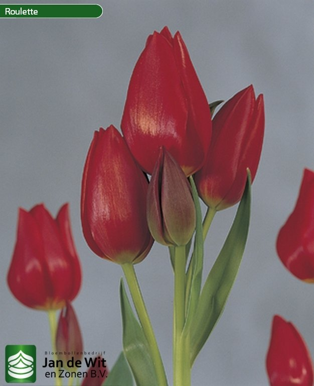 Tulip Roulette   The best new tulips for connoisseurs of glamour 74e4ed977a33