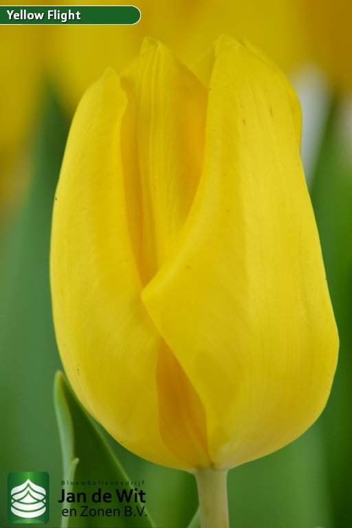 Tulipa Yellow Flight ®